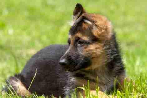 Animal dog German Shepherd