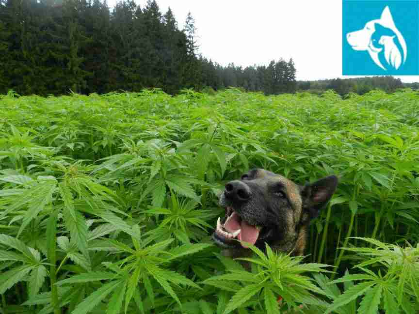 Emotional Support Animal Cannabis Dog