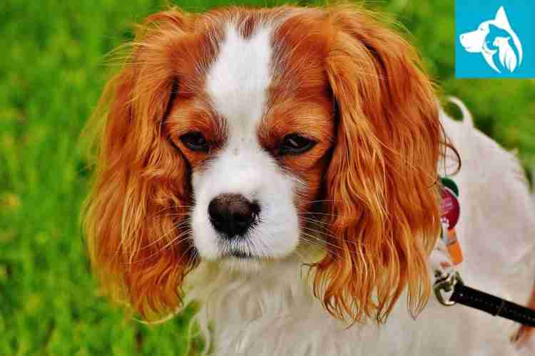 Emotional Support Animal dog Cavalier King Charles Spaniel