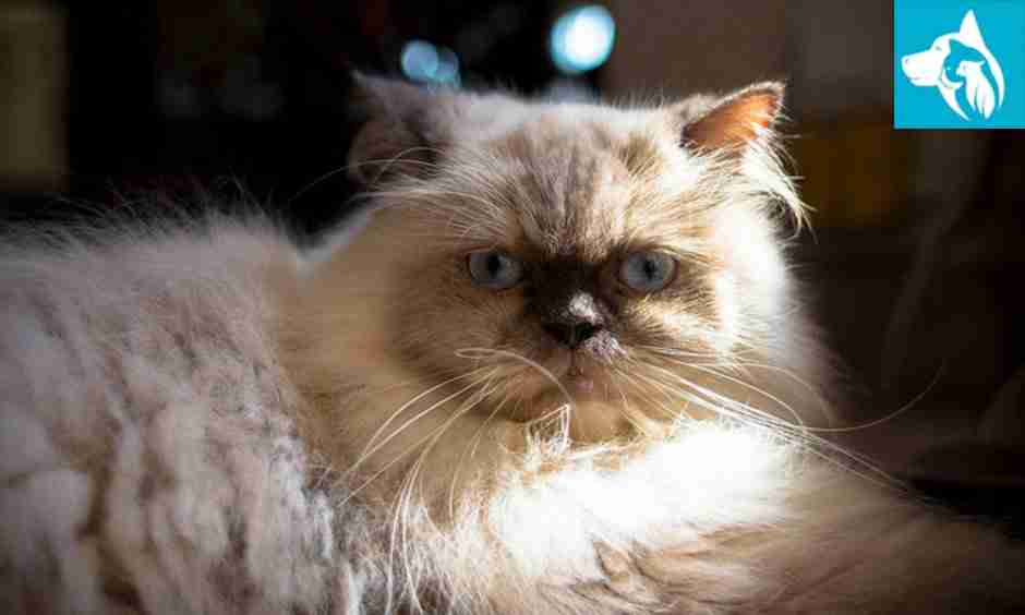 Emotional Support Animal Persian cat