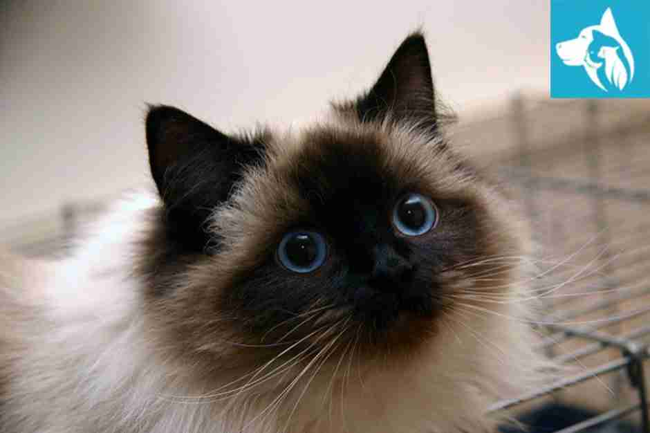 Emotional Support Animal Ragdoll