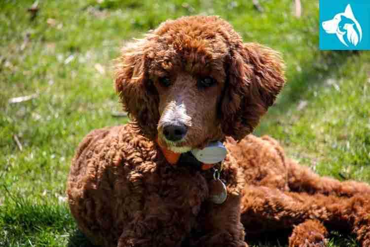 Emotional Support Animal dog poodle