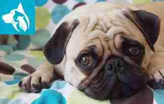 Emotional Support Animal pug