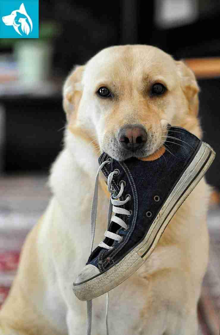 Emotional Support Animal Labrador Retriever
