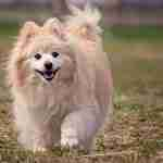 Pomeranian-companion-animal