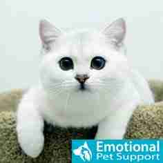 white kitty emotional pet support