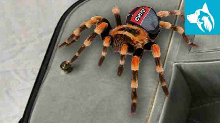 exotic emotional support animal tarantula