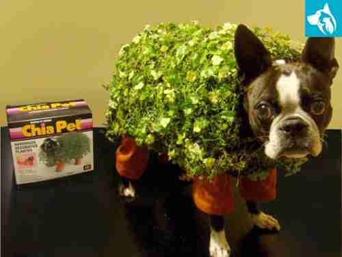 halloween chia service dog