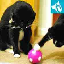 play service animal cat