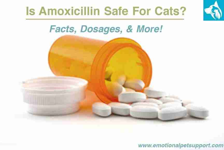 Amoxicillin safe for cats