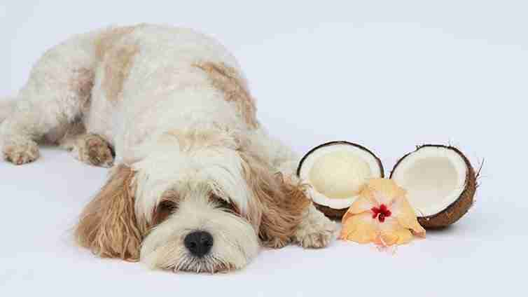coconut-oil-for-dogs