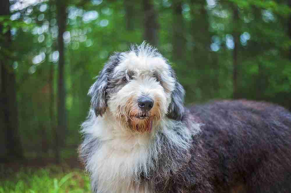 cataracts old sheepdog