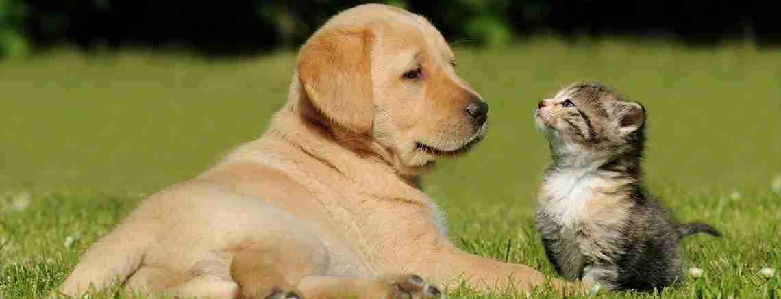 babesiosis cat dog