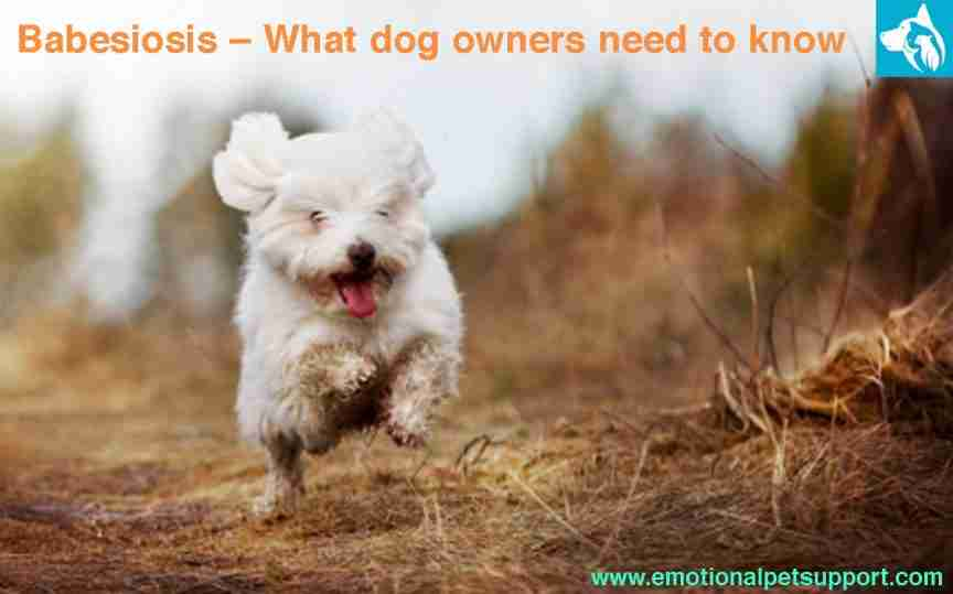 babesiosis dog owners