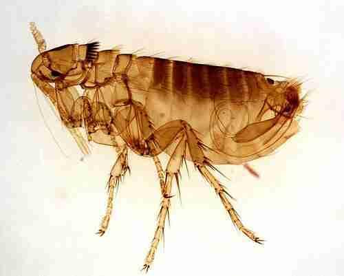 flea dog