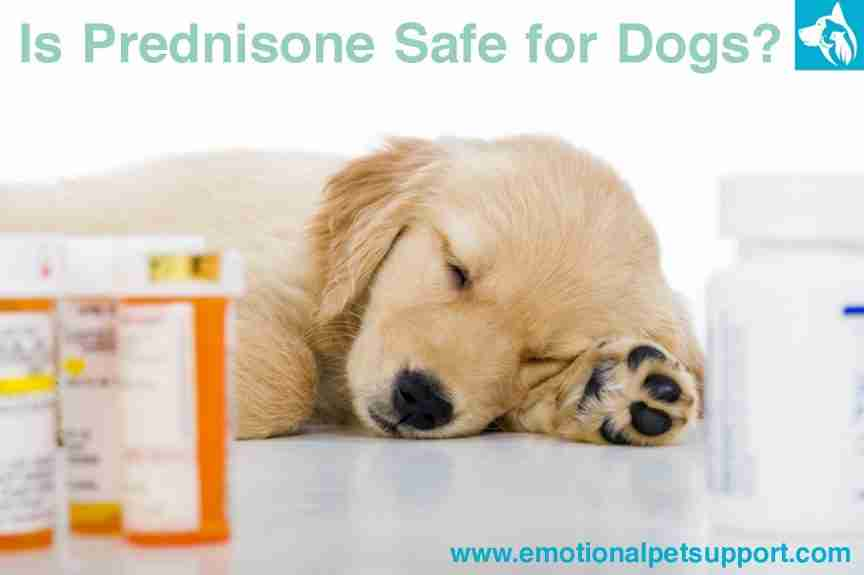 prednisone-safe-dogs