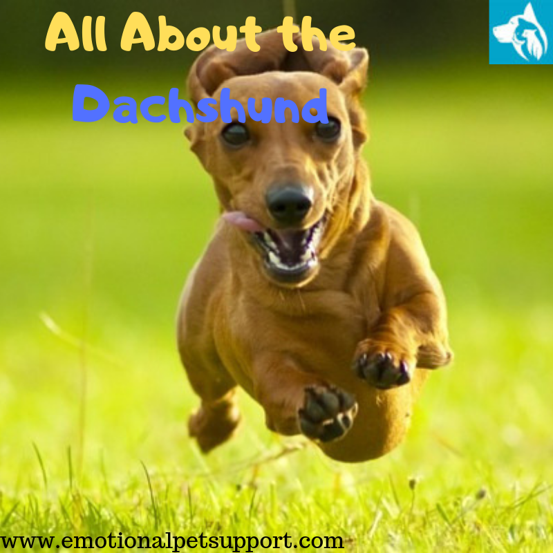 all about the Dachshund