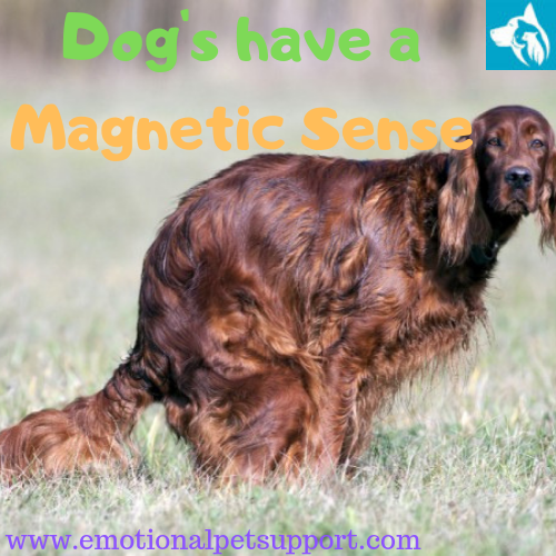 dogs magnetic sense