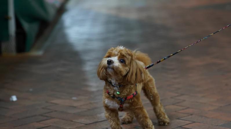 puppy walk on leash