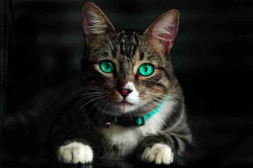 Cat CBD oils