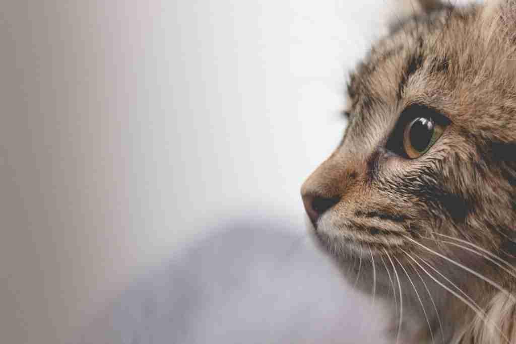 cat covid-19