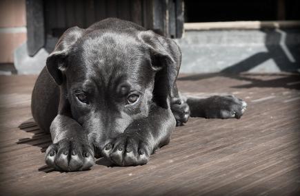 hemp dog