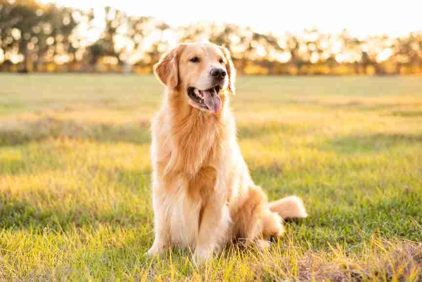 Golden Retriever dog enjoying outdoors at a large grass field at sunset, beautiful golden light