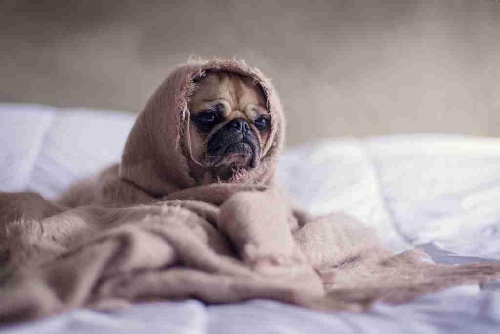 dog under bedsheets