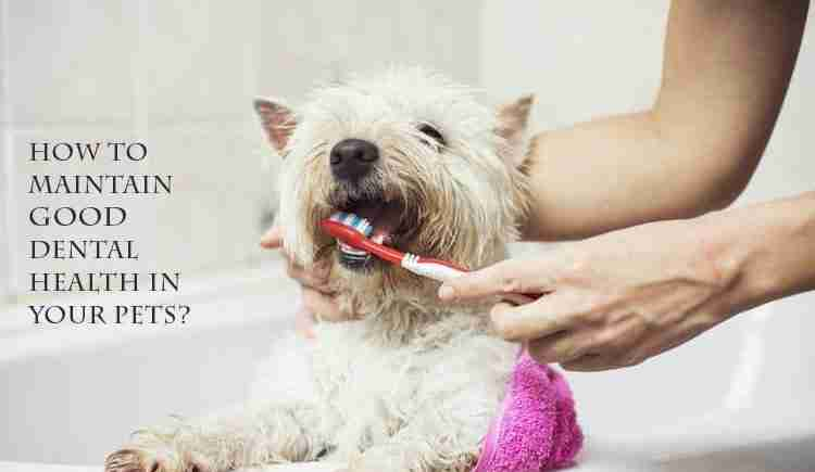 Good-Dental-Health-in-Your-Pets