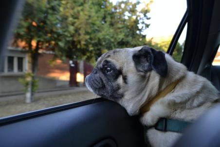 pug looking outside