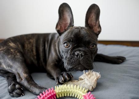 french bulldog toy