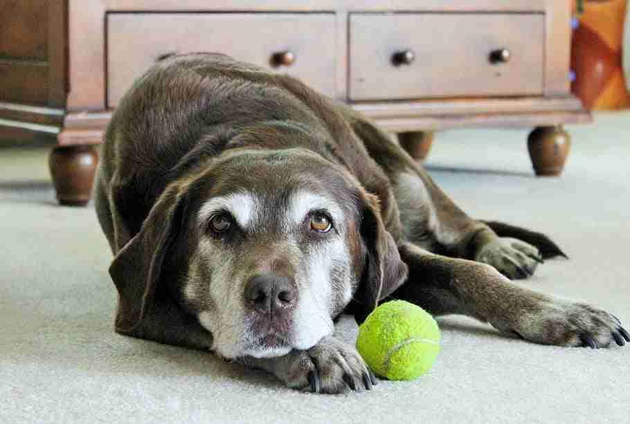 lazy-dog-dog-labrador-dog-dog-portrait