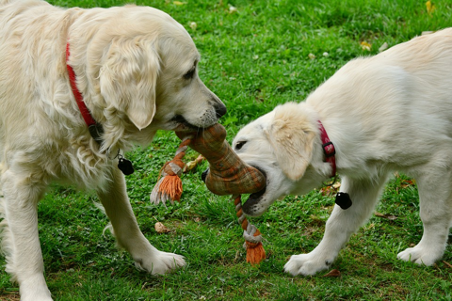 two dogs with a toy