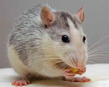 Are Rats Good Pets