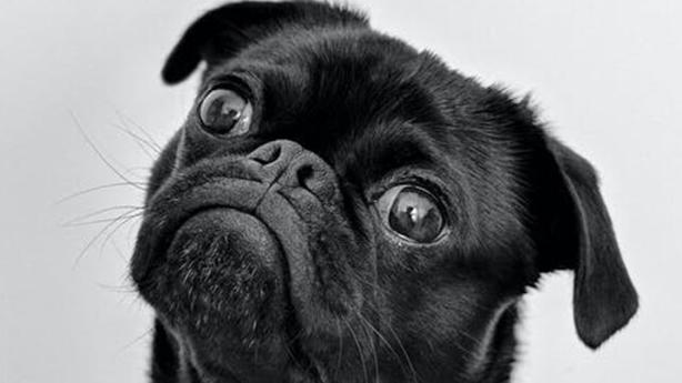 anxious pug