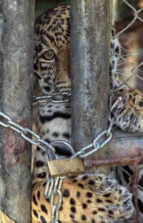 Cheeta pet