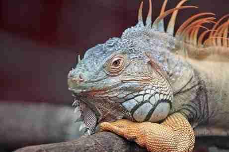 exotic lizard pet